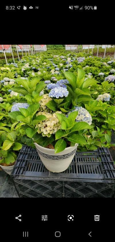 Hydrangea mac. EVERLASTING® Revolution - 2 Gal. Crop Shot for 2020-30