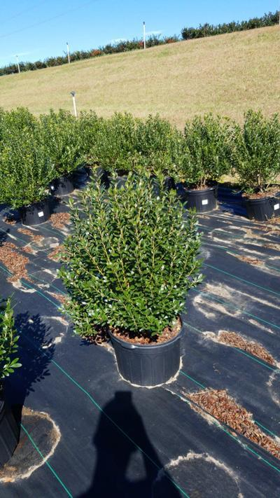 Ilex glabra 'Densa' - 5 Gal. Crop Shot for 2020-40