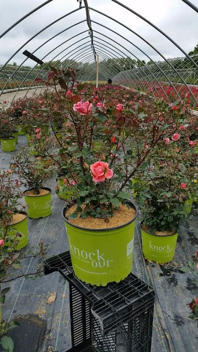 Rosa Coral Knock Out® - 3 Gal. Crop Shot for 2019-21
