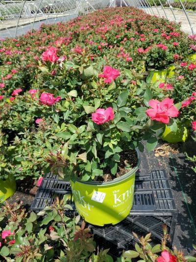 Rosa Knockout - 3 Gal. Crop Shot for 2020-27