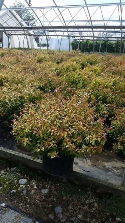 Abelia x grandiflora 'Kaleidoscope' - 3 Gal. Crop Shot for 2019-36
