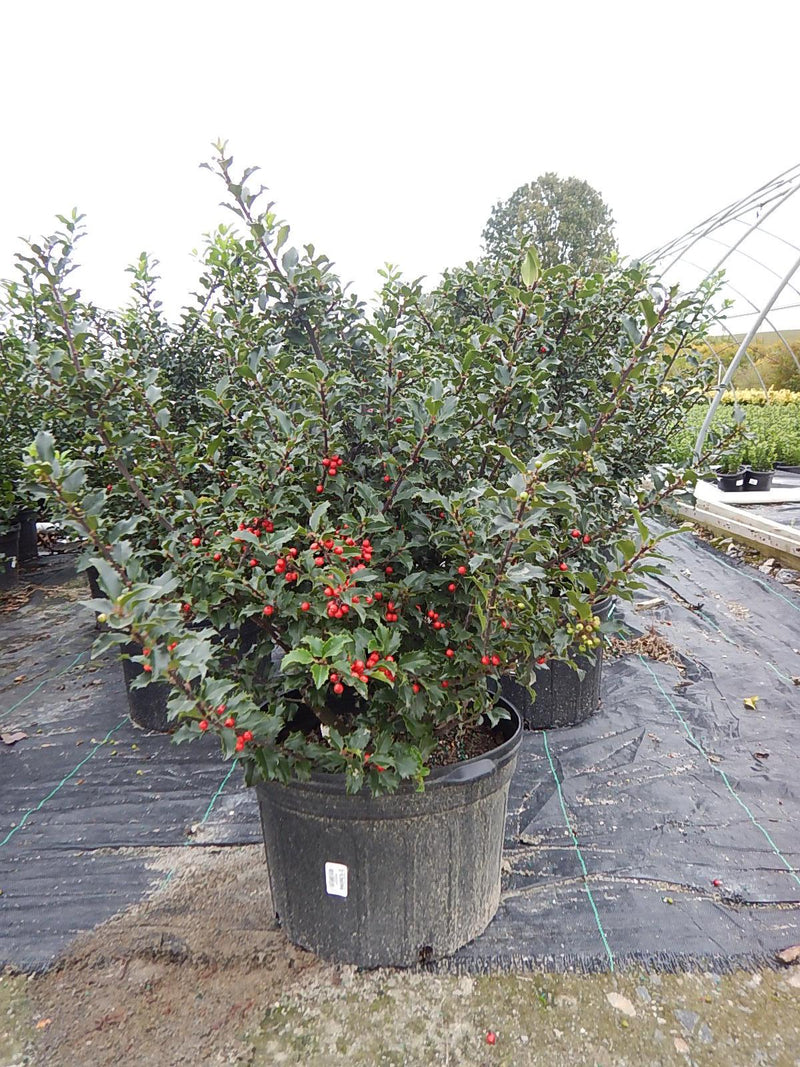 Ilex X meserveae 'Blue Princess' - #5 Crop Shot for 2017-39