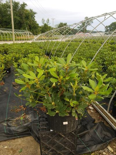 Rhododendron catawbiense 'Nova Zembla' - 5 Gal. Crop Shot for 2020-31