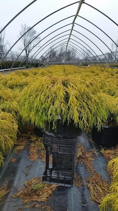 Chamaecyparis pisifera 'Filifera Aurea' - 5 Gal. Crop Shot for 2019-14