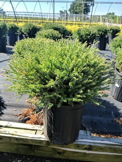 Thuja occidentalis 'Mr. Bowling Ball' - 2 Gal. Crop Shot for 2020-30