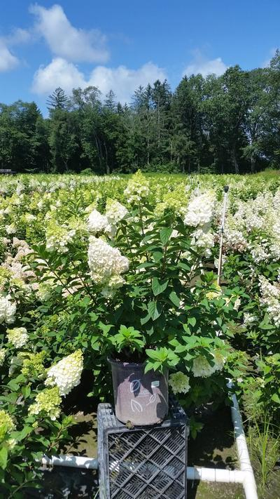 Hydrangea paniculata 'Strawberry Sundae®' - 5 Gal. Crop Shot for 2019-31