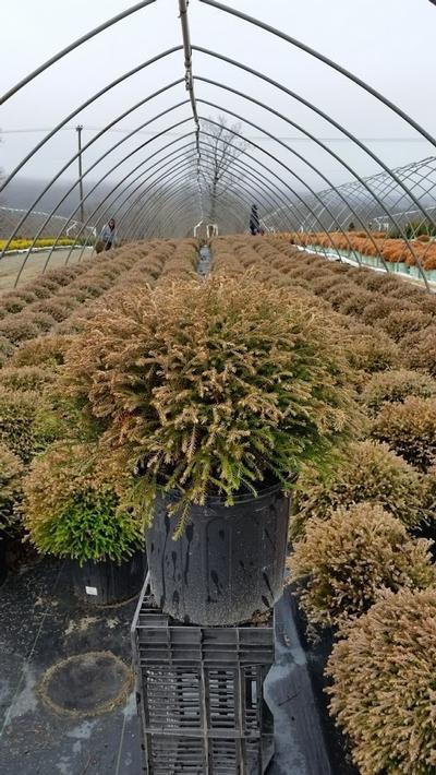Thuja occidentalis 'Mr. Bowling Ball' - 3 Gal. Crop Shot for 2019-14