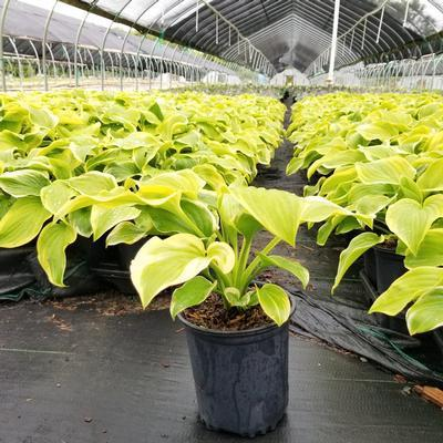 Hosta 'Fragrant Bouquet' - 1 Gal. Crop Shot for 2020-36