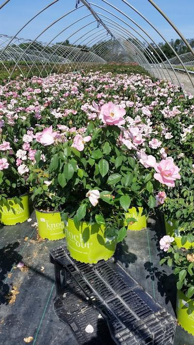 Rosa Peachy Knock Out® - 3 Gal. Crop Shot for 2019-32