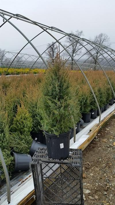 Juniperus communis 'Gold Cone' - 2 Gal. Crop Shot for 2019-14