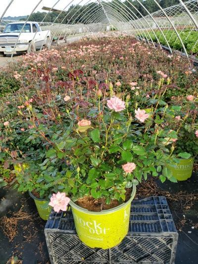 Rosa Coral Knock Out® - 3 Gal. Crop Shot for 2020-32