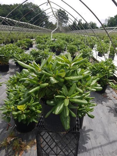 Rhododendron 'Scintillation' - 5 Gal. Crop Shot for 2020-27