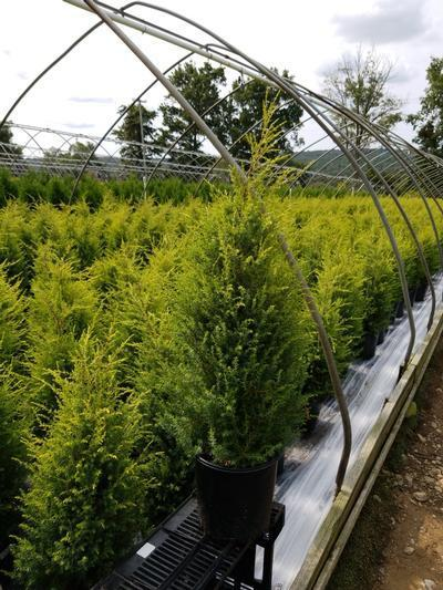 Juniperus communis 'Gold Cone' - 2 Gal. Crop Shot for 2020-37