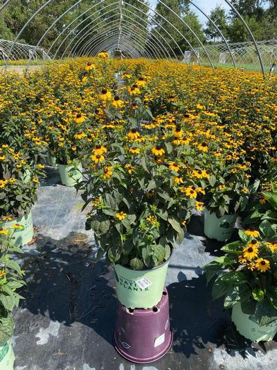 Rudbeckia triloba - 2 Gal. Crop Shot for 2020-32