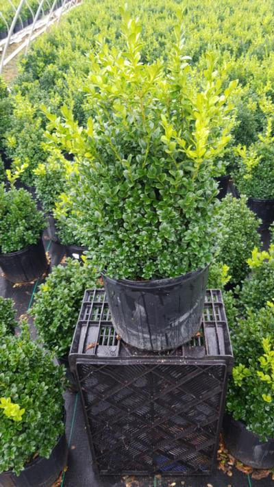 Buxus microphylla var. japonica 'Green Mountain' - 3 Gal. Crop Shot for 2020-30