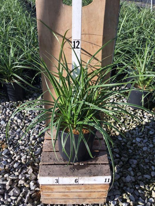 Carex morowii 'Ice Dance' - 1 Gal. Crop Shot for 2020-31