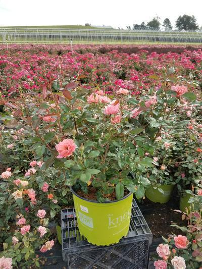 Rosa Coral Knock Out® - 3 Gal. Crop Shot for 2019-30