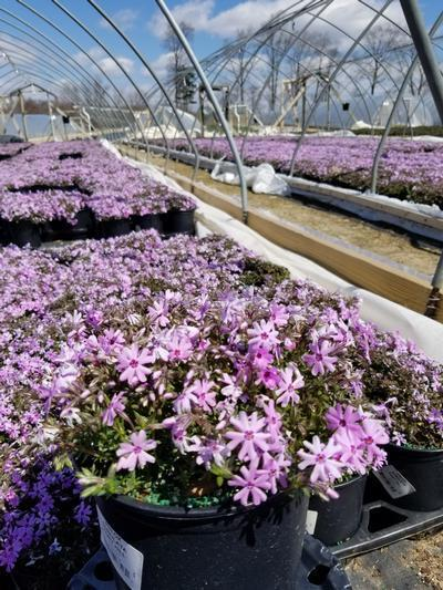 Phlox subulata 'Fort Hill' - 1 Gal. Crop Shot for 2020-16