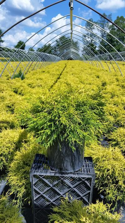 Chamaecyparis pisifera 'Filifera Aurea' - 3 Gal. Crop Shot for 2019-25