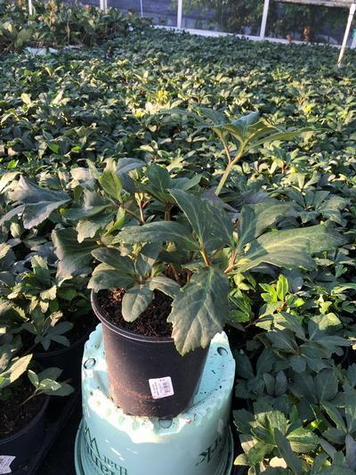 Helleborus niger 'Jacob' - 1 Gal. Crop Shot for 2019-37