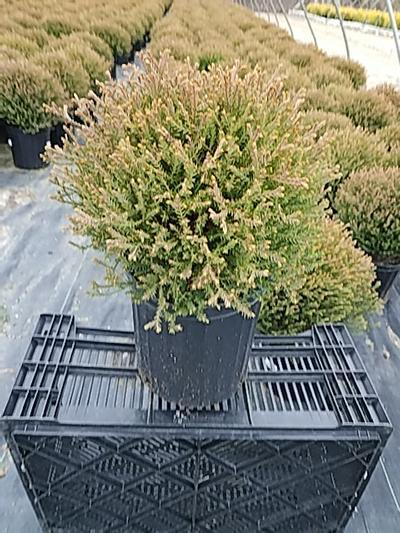 Thuja occidentalis 'Mr. Bowling Ball' - 2 Gal. Crop Shot for 2020-17