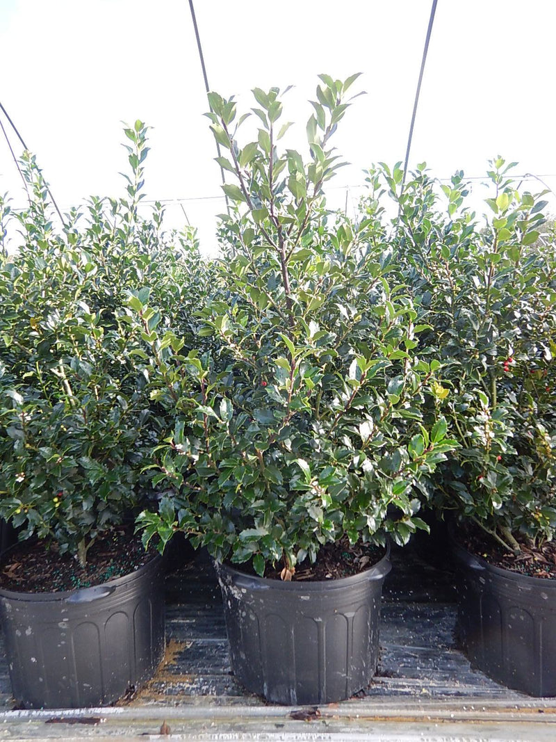 Ilex X meserveae 'Blue Maid' - #5 Crop Shot for 2017-42