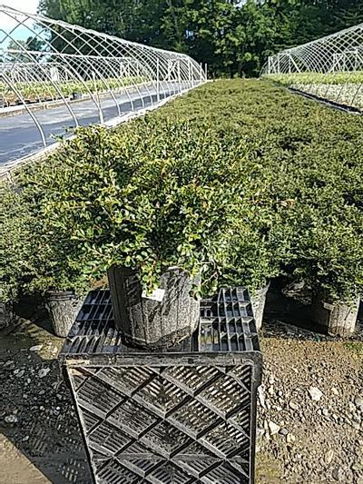 Cotoneaster adpressus 'Little Gem' - 2 Gal. Crop Shot for 2020-25