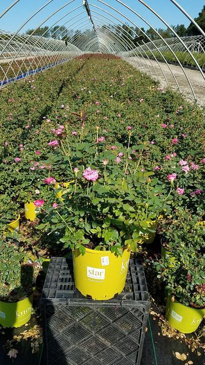 Rosa 'Double Pink Knockou't - 2 Gal. Crop Shot for 2019-31