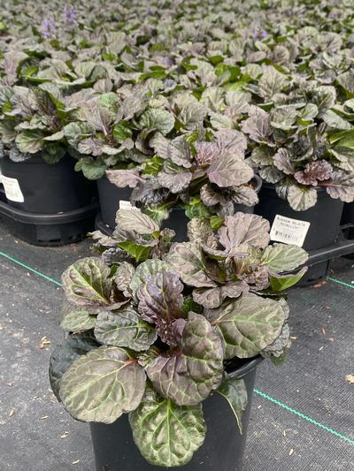 Ajuga reptans 'Black Scallop' - 1 Gal. Crop Shot for 2020-34