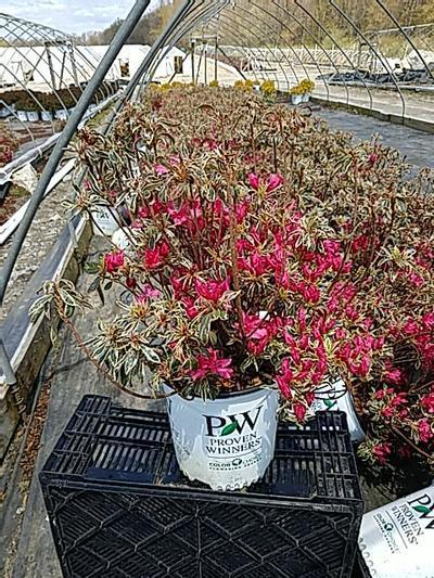 Rhododendron (azalea) 'Bollywood Star™' - 2 Gal. Crop Shot for 2020-19