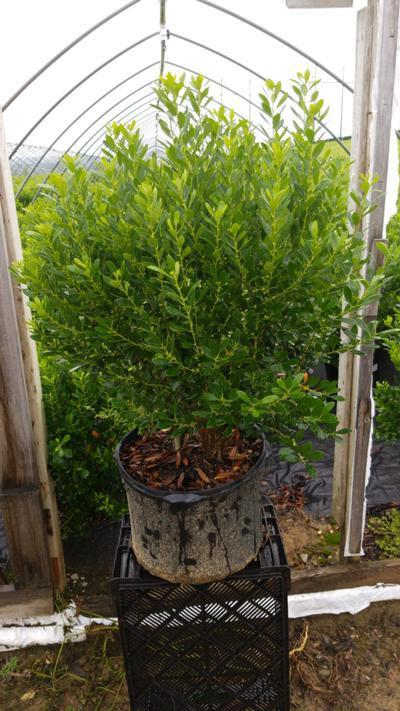 Ilex glabra 'Densa' - 5 Gal. Crop Shot for 2020-30