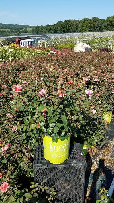 Rosa 'Coral Knock Out®' - 2 Gal. Crop Shot for 2019-31