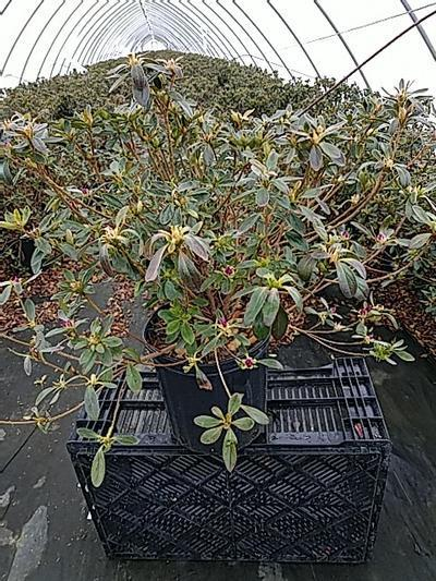 Rhododendron (azalea) 'Girards Fuchsia' - 2 Gal. Crop Shot for 2020-17