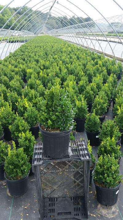 Buxus microphylla Var.Japonica 'Green Mountain' - 2 Gal. Crop Shot for 2019-35