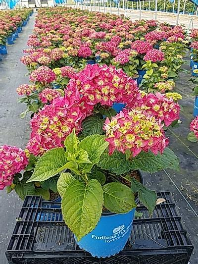 Hydrangea mac. Endless Summer® Summer Crush™ - 2 Gal. Crop Shot for 2020-22