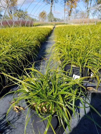 Carex oshimensis Evercolor® 'Everlime' - 1 Gal. Crop Shot for 2019-41