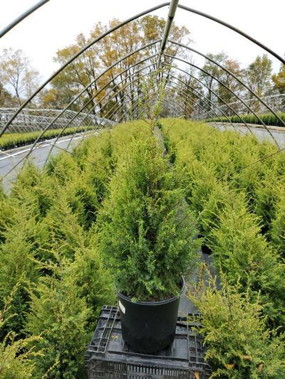 Juniperus communis 'Gold Cone' - 2 Gal. Crop Shot for 2020-41