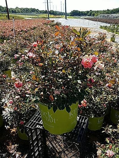 Rosa Coral Knock Out® - 3 Gal. Crop Shot for 2020-26
