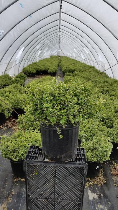 Euonymus fortunei 'Emerald Gaiety' - 3 Gal. Crop Shot for 2019-17