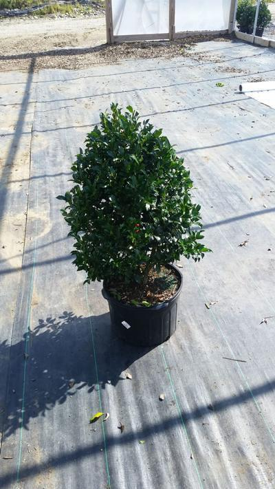 Ilex x meserveae 'Blue Maid' - 5 Gal. Crop Shot for 2019-35