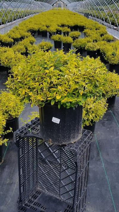 Euonymus fortunei 'Emerald N Gold' - 3 Gal. Crop Shot for 2019-23