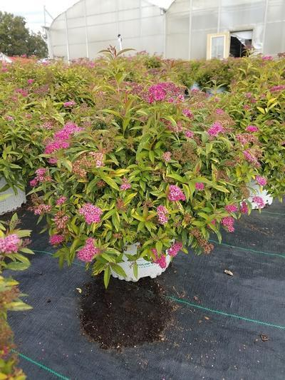 Spiraea Double Play 'Painted Lady' - 3 Gal. Crop Shot for 2019-37