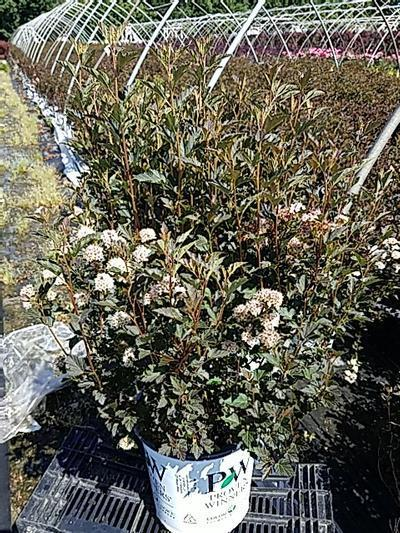 Physocarpus opulifolious 'Tiny Wine' - 2 Gal. Crop Shot for 2020-23