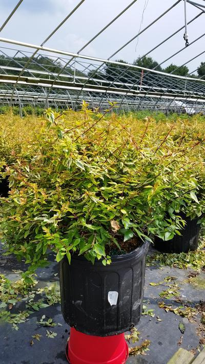 Abelia X grandiflora 'Kaleidoscope' - #3 Crop Shot for 2018-33