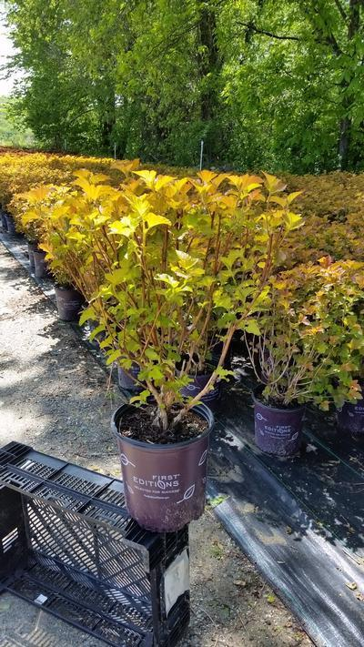 Physocarpus opulifolius 'Amber Jubilee™' - 2 Gal. Crop Shot for 2019-20