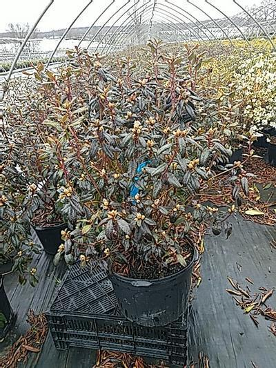 Rhododendron 'Landmark' - 5 Gal. Crop Shot for 2020-16