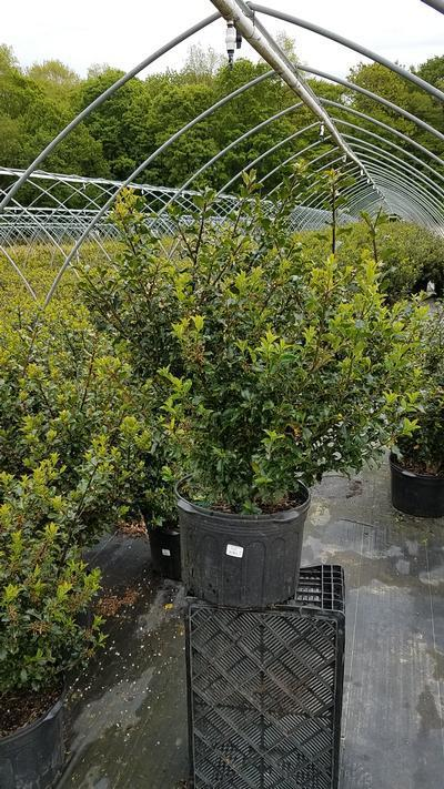 Ilex x meserveae 'Blue Princess' - 5 Gal. Crop Shot for 2019-20