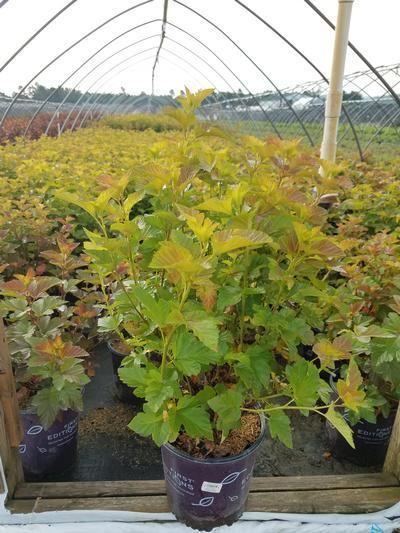 Physocarpus opulifolius 'Amber Jubilee™' - 2 Gal. Crop Shot for 2019-30