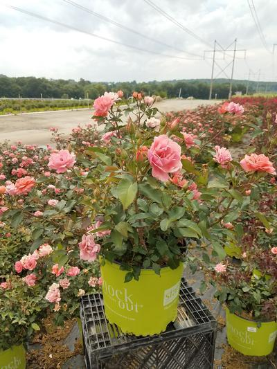 Rosa Coral Knock Out® - 3 Gal. Crop Shot for 2019-28