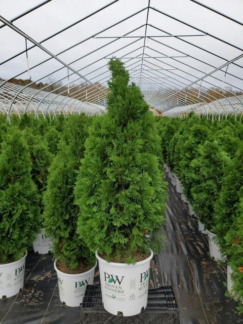 Thuja occidentalis 'North Pole®' - 7 Gal. Crop Shot for 2020-43